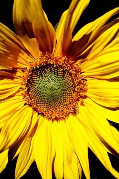 Photograph - Sunflower by David Matthews