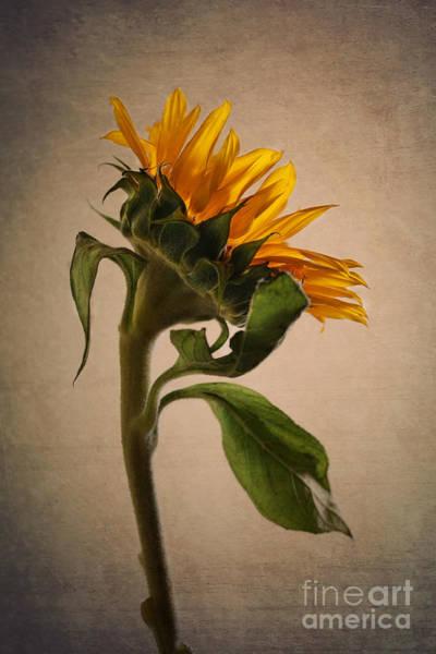 Wall Art - Photograph - Sunflower by Diana Kraleva