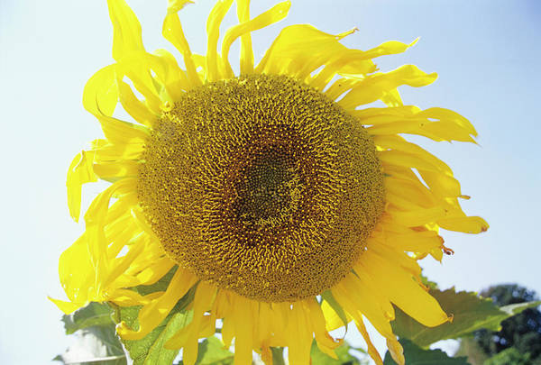 Helianthus Annuus Photograph - Sunflower by Duncan Smith/science Photo Library