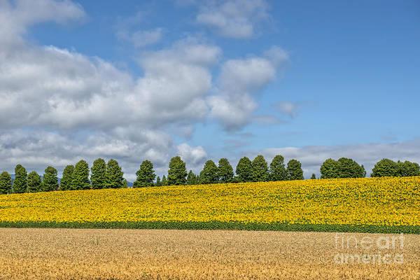 Digital Art - Sunflower Field 2 by Mauro Celotti