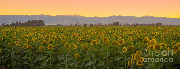 Photograph - Sunflower Field After Sunset by Rima Biswas