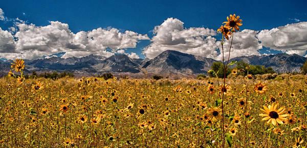 Eastern Sierra Photograph - Sunflower Field by Cat Connor