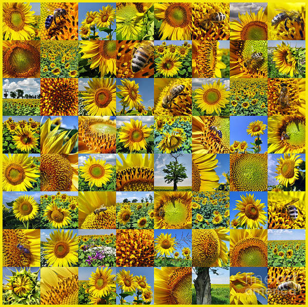Photograph - Sunflower Field Collage In Yellow by Daliana Pacuraru