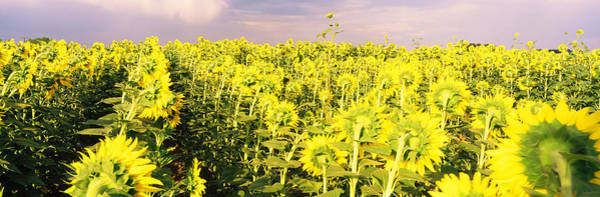 Peacefulness Photograph - Sunflower Field, Colorado, Usa by Panoramic Images