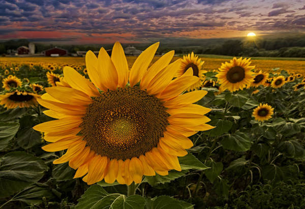 Photograph - Sunflower Field Forever by Susan Candelario