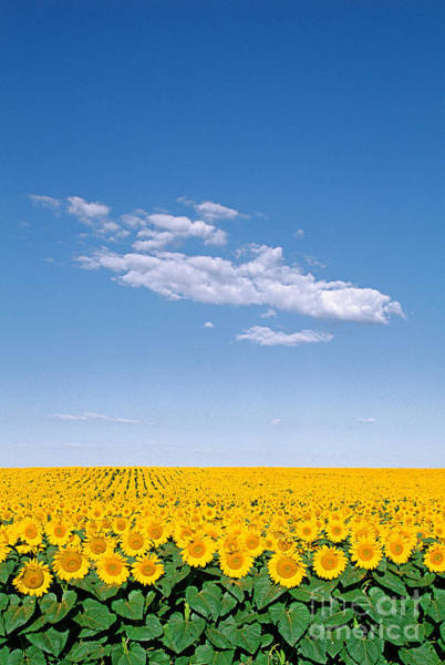 Photograph - Sunflower Field by Jeff Lepore