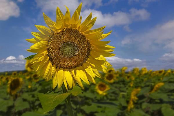 Photograph - Sunflower Field by Susan Candelario