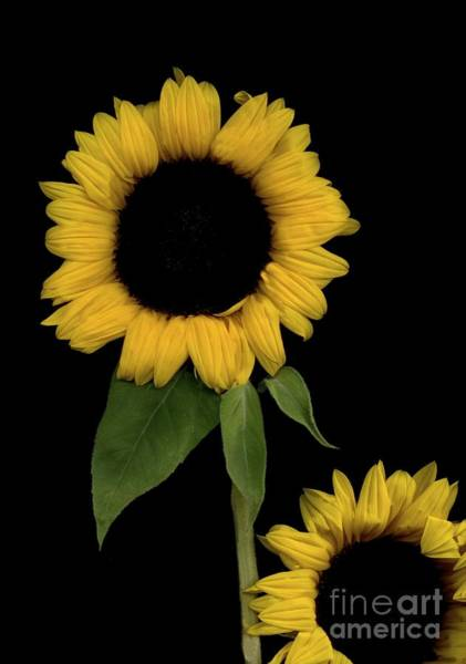 Wall Art - Photograph - Sunflower Friends by Nancy TeWinkel Lauren