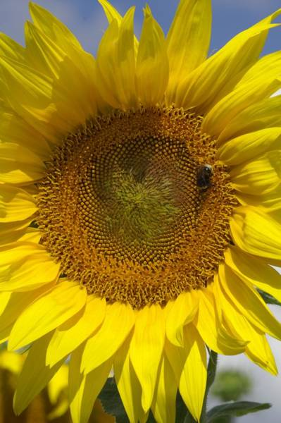 Helianthus Annuus Photograph - Sunflower (helianthus Annuus) by Brian Gadsby/science Photo Library