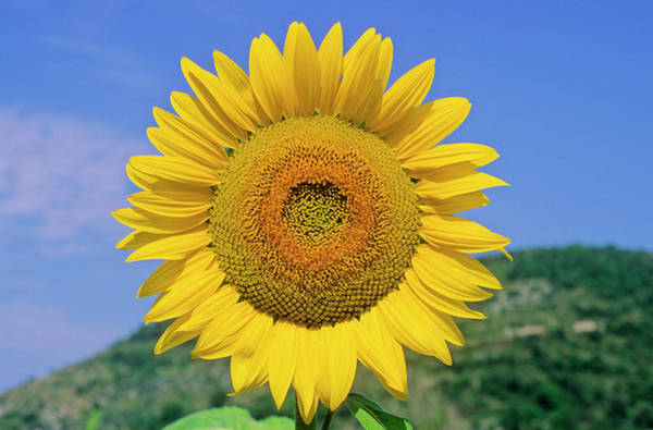 Helianthus Annuus Photograph - Sunflower (helianthus Annuus) by Bruno Petriglia/science Photo Library
