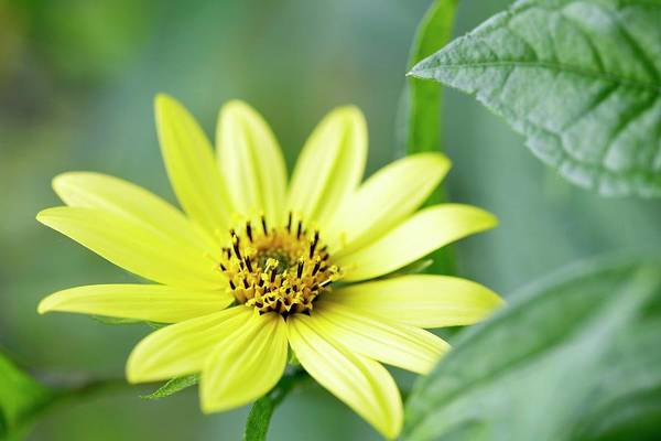 Asteraceae Wall Art - Photograph - Sunflower (helianthus 'lemon Queen'). by Rachel Warne/science Photo Library