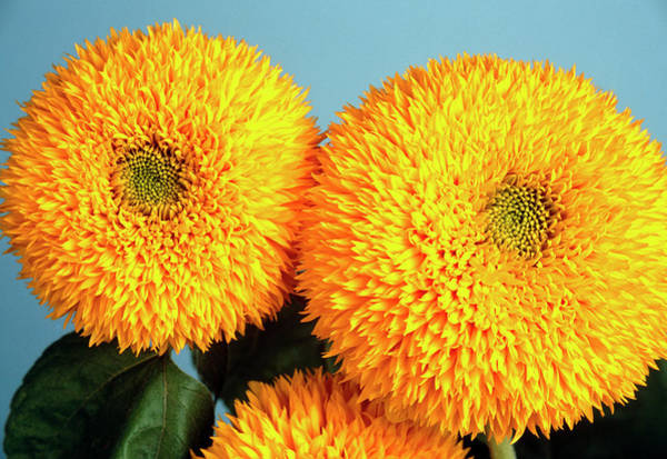 Helianthus Annuus Photograph - Sunflower (helianthus 'teddy Bear') by Ann Pickford/science Photo Library