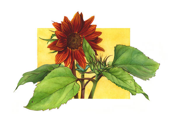 Sunflower In Red Art Print by Suzannah Alexander