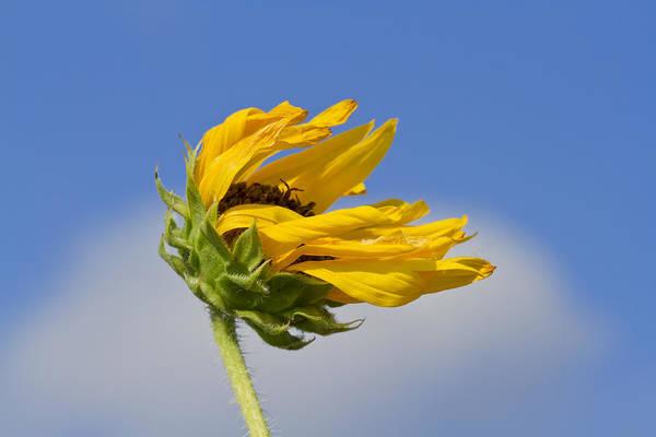 Photograph - Sunflower In The Prairie Wind by Steven Schwartzman