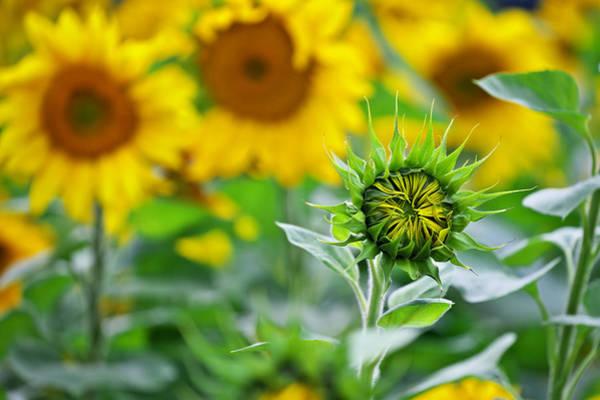 Photograph - Sunflower by Ivan Slosar