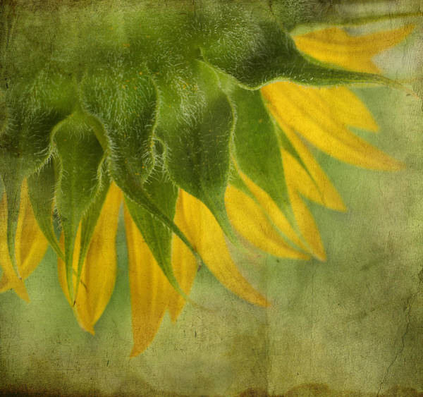 Sunflower Seeds Photograph - Sunflower by Ivelina G