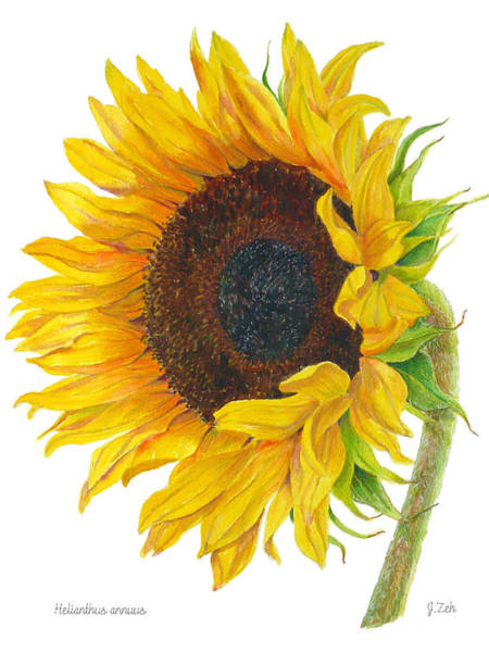 Sunflower - Helianthus Annuus Art Print