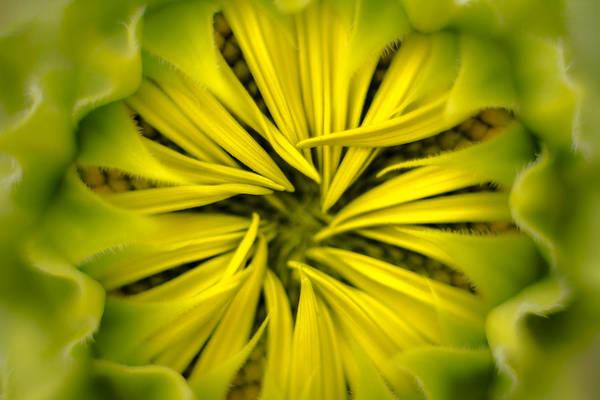 Photograph - Sunflower by Jorge Perez - BlueBeardImagery