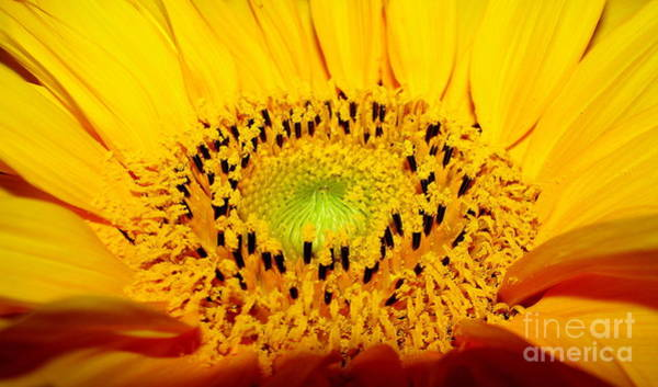 Photograph - Sunflower Looking To The Sun by Rose Santuci-Sofranko