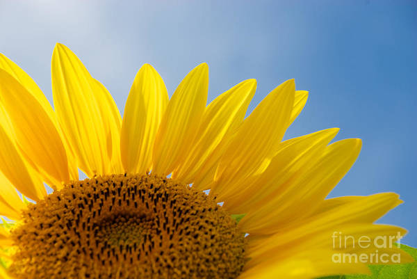 Photograph - Sunflower Looking Up by Mark Dodd