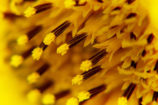 Photograph - Sunflower Macro 3 by Scott Hovind
