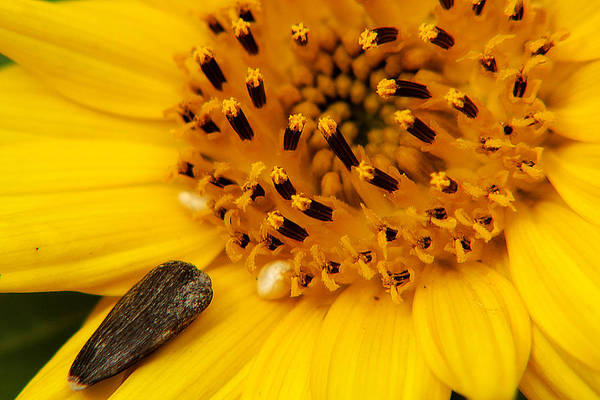 Photograph - Sunflower Macro 4 by Scott Hovind