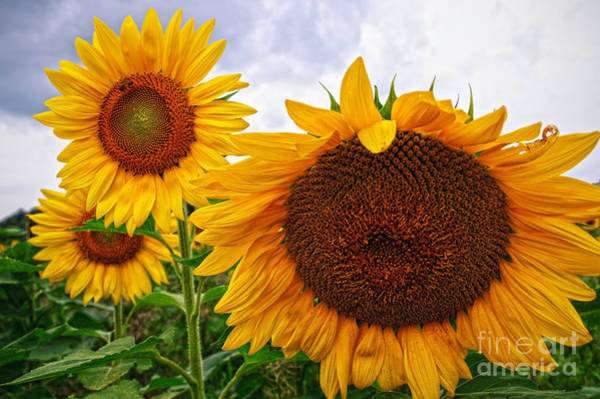 Sunflower Mama And Her Daughters  Art Print