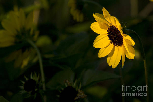 Photograph - Sunflower by Meg Rousher