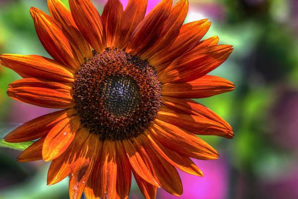 Photograph - Sunflower Norfolk Botanical Garden by Jerry Gammon