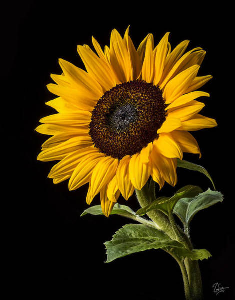 Photograph - Sunflower Number 2 by Endre Balogh