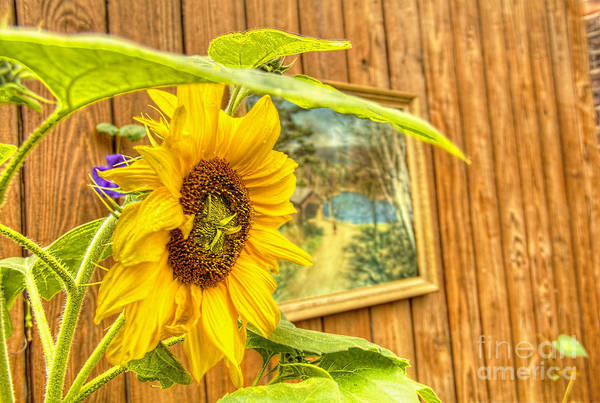 Photograph - Sunflower On A Fence by Jim Lepard