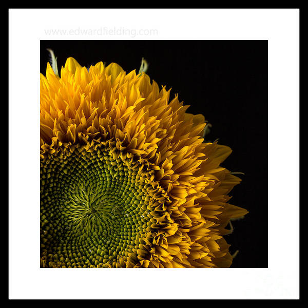 Photograph - Sunflower Original Signed Mini by Edward Fielding