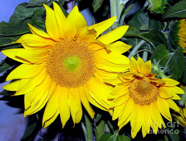 Photograph - Sunflower Parent And Child by Rose Santuci-Sofranko