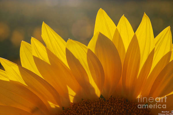 Photograph - Sunflower Petal Tips by Mark Dodd
