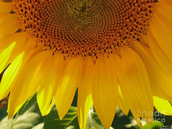 Photograph - Sunflower Pollen Falls by Mark Dodd
