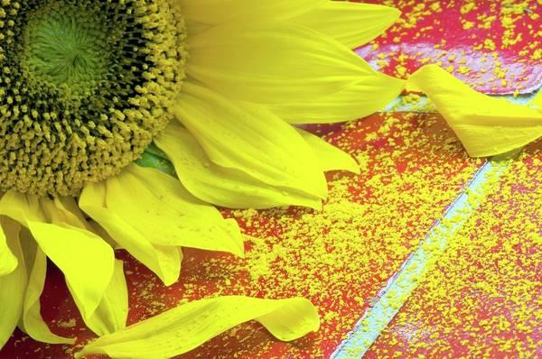 Helianthus Annuus Photograph - Sunflower Pollen (helianthus Annuus) by Dr. John Brackenbury/science Photo Library
