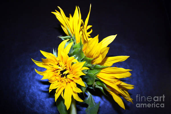 Photograph - Sunflower Portrait by Kelly Holm
