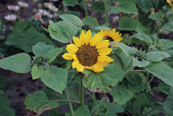 Prado Photograph - Sunflower 'prado Yellow' by A C Seinet/science Photo Library
