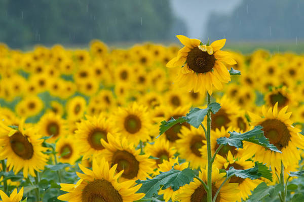 Photograph - Sunflower Rain Sussex Nj by Terry DeLuco