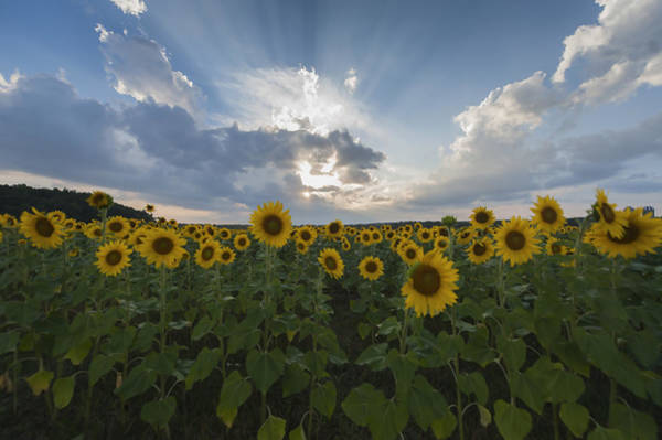 Photograph - Sunflower Rays Augusta Nj by Terry DeLuco