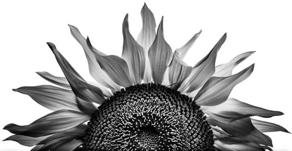 Photograph - Sunflower Rising by Michael Arend