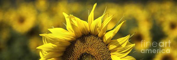 Wall Art - Photograph - Sunflower Rising by Nigel Jones