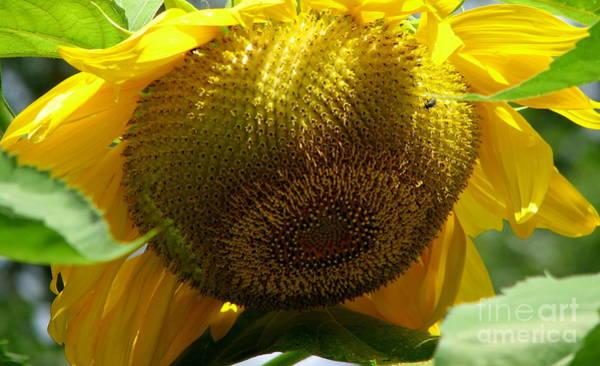 Photograph - Sunflower Seed Head Macro by Rose Santuci-Sofranko