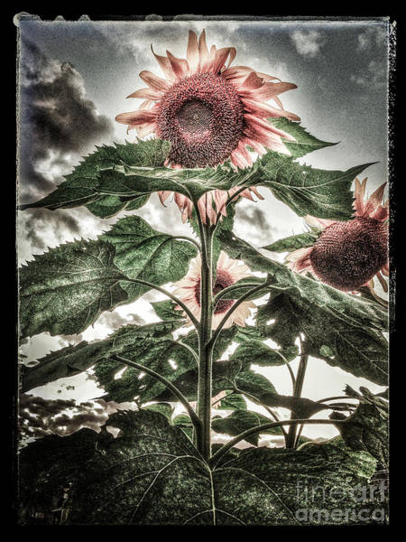 Photograph - Sunflower Sky 2 by Michael Arend
