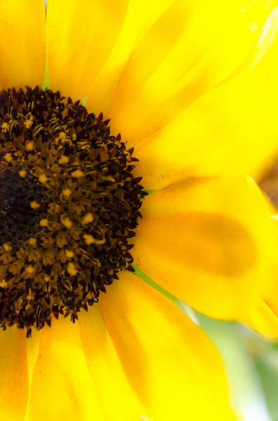 Photograph - Sunflower by Sotiris Filippou