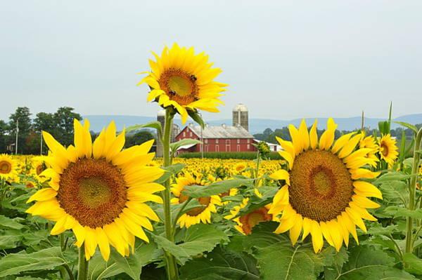 Pennsylvania Barn Photograph - Sunflower Splendor #1 - Mifflinburg Pa by Joel E Blyler