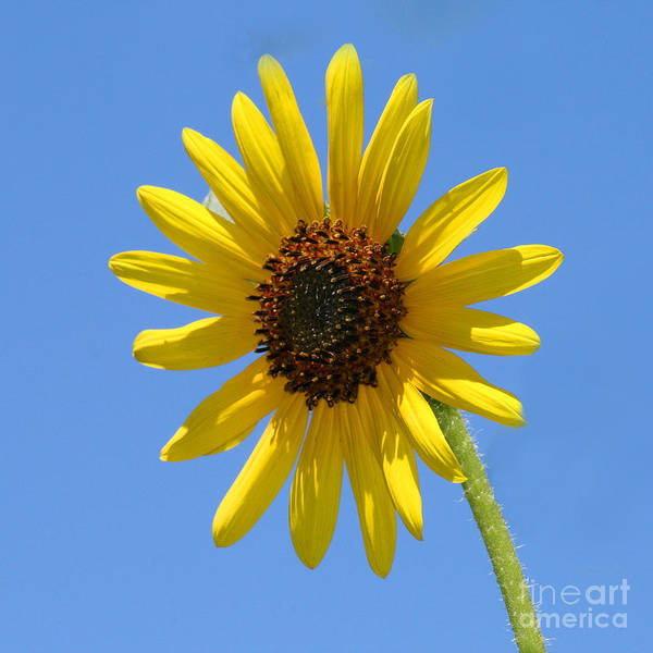 Photograph - Sunflower Square by Karen Adams