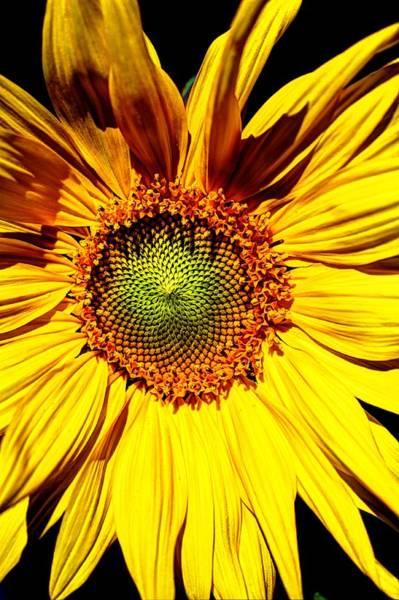 Photograph - Sunflower Star by David Matthews