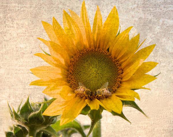 Bee Photograph - Sunflower - Sun Kiss by John Hamlon