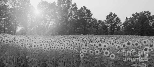 Michael Photograph - Sunflower Sunset Bw by Michael Ver Sprill
